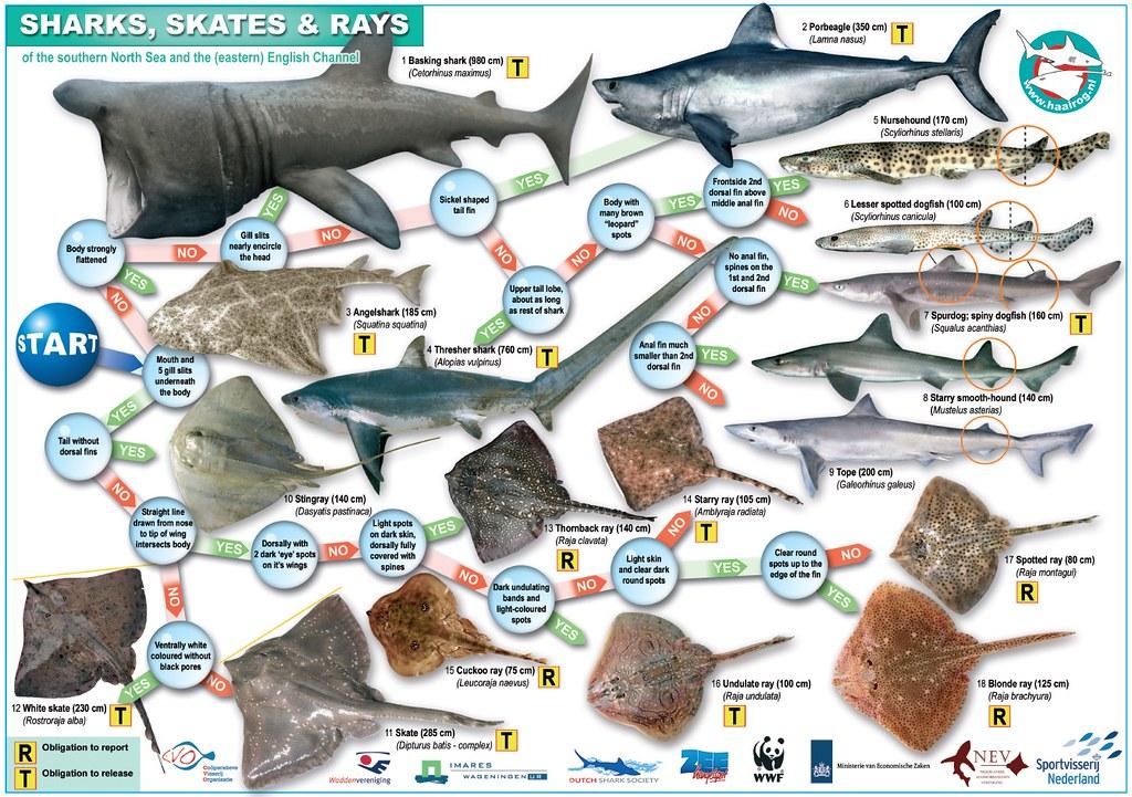 軟骨魚保育越來越受到全球矚目,除了鯊魚,鰩、魟和銀鮫等,都是軟骨魚成員。圖片來源:海保署