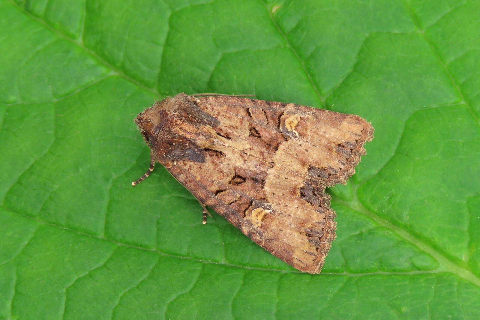 73.169 BF2343 Common Rustic agg. - Mesapamea secalis agg.