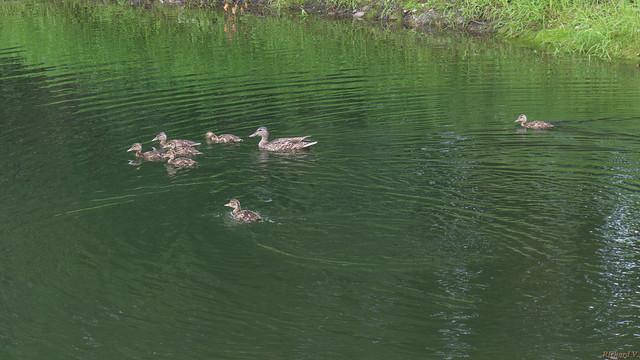 Cane Colvert et canetons - Mallard & ducklings, Beauce, P.Q., Canada - 4687