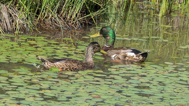 Canards colvert - Mallard duck, Québec, Canada - 7525