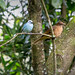 Blue-Gray Tanager and Palm Tanager_1172