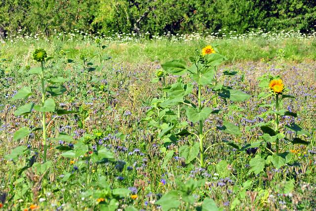 Juli 2020 ... Wildblumenwiese in Edingen ... Brigitte Stolle