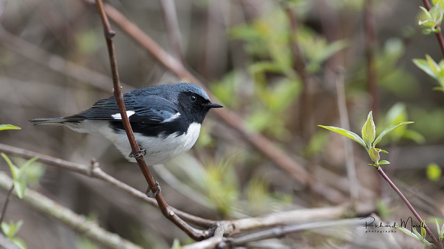 paruline bleue / blackthroated blue warbler