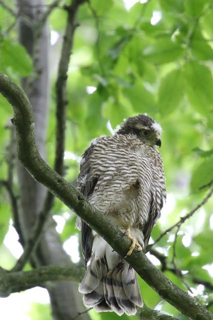 Sparrowhawk-Juvenile, 13072020, 09 f