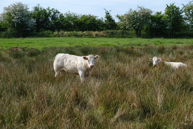 Two white cows relaxing