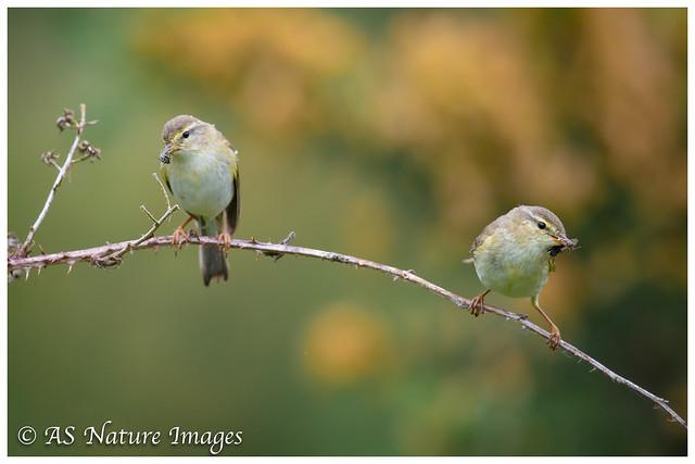 Willow Warbler Pair