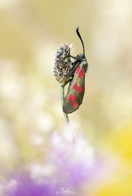 Six-spot burnet - Zygaena filipendulae