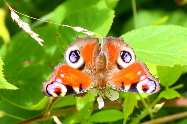 Peacock Aglais io