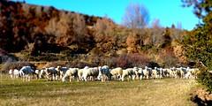 El Pueyo de Morcat (Sobrarbe, Huesca, Aragón, Sp) - El rebaño de la última familia