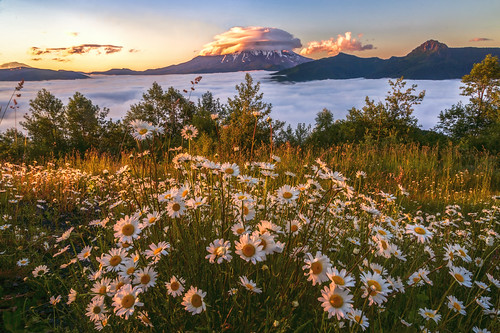 Daisies and the Volcano | by Cole Chase Photography