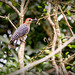 Red-crowned Woodpecker _1174