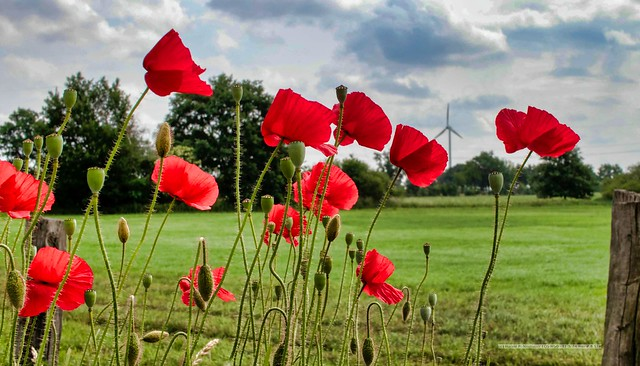 Poppies on the roadside