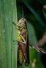 Large marsh grasshopper