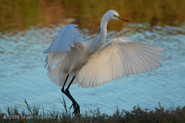 In The First Light A Great Egret Dances Along Marsh's Levee