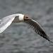 Gull flying past