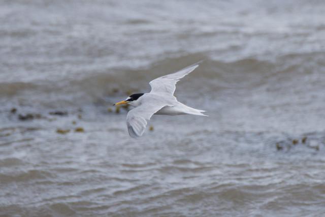 Little Tern Annagassan