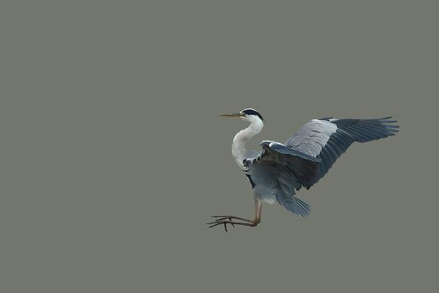 Héron cendré (Ardea cinerea) - Grey Heron