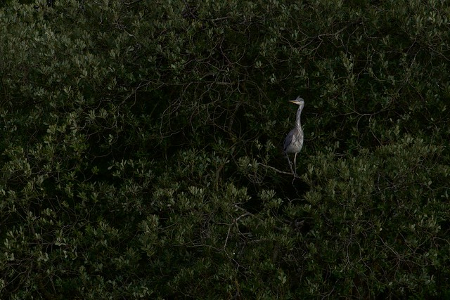 Grey heron (अंजन, नरी, सैन) / Ardea cinerea