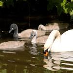 Cute swan family