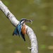 Kingfisher -202007130793.jpg