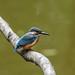 Kingfisher -202007130828.jpg