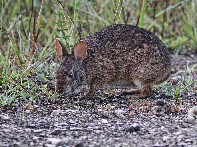 Marsh Rabbit 02-20200714