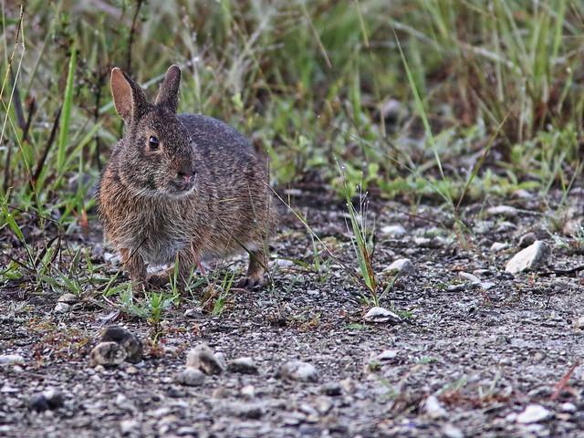 Marsh Rabbit 03-20200714