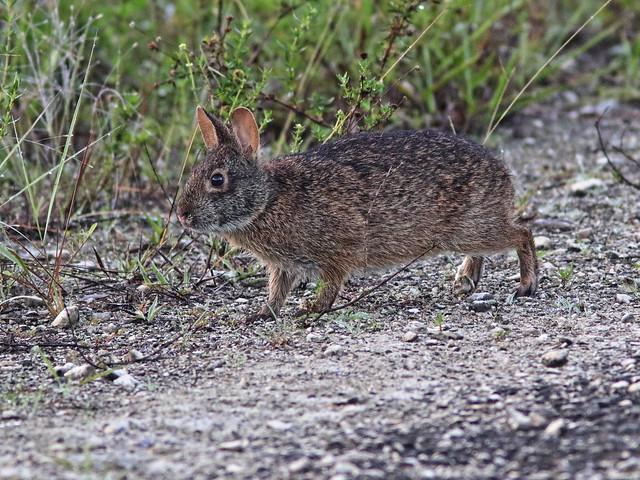 Marsh Rabbit 05-20200714