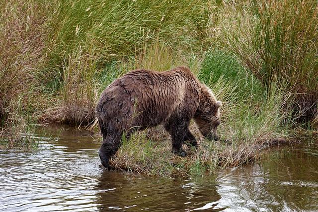 Life Requires More Trailblazing of Nature (Katmai National Park & Preserve)