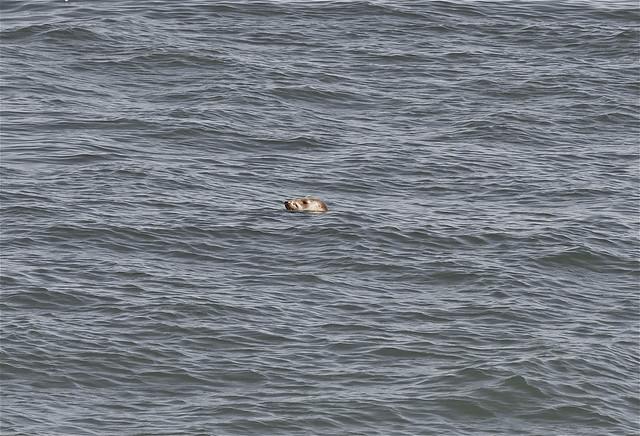 Zeehond  bij Scheveningen