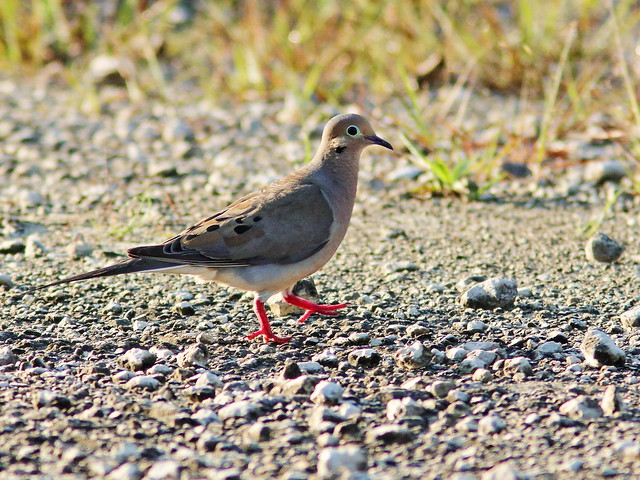 Mourning Dove 2-20200714
