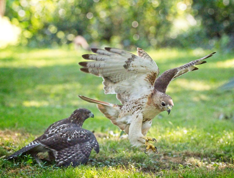 Fledgling swoops in on Dad