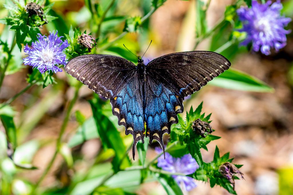 Spicebush Swallowtail (female?)