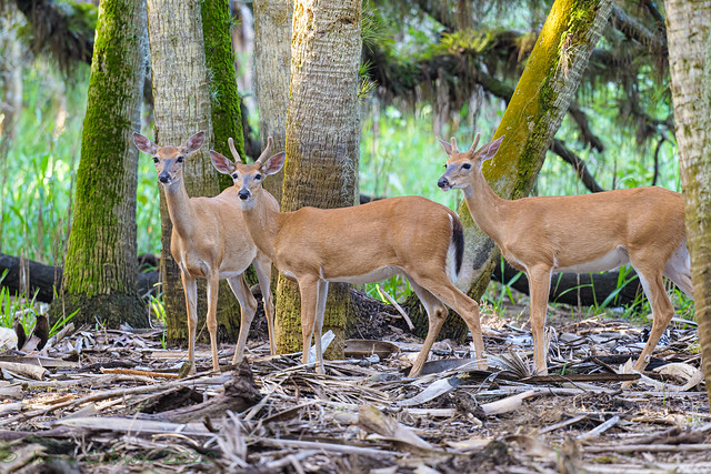 Myakka River State Park White-tailed Buck 07-08-2020