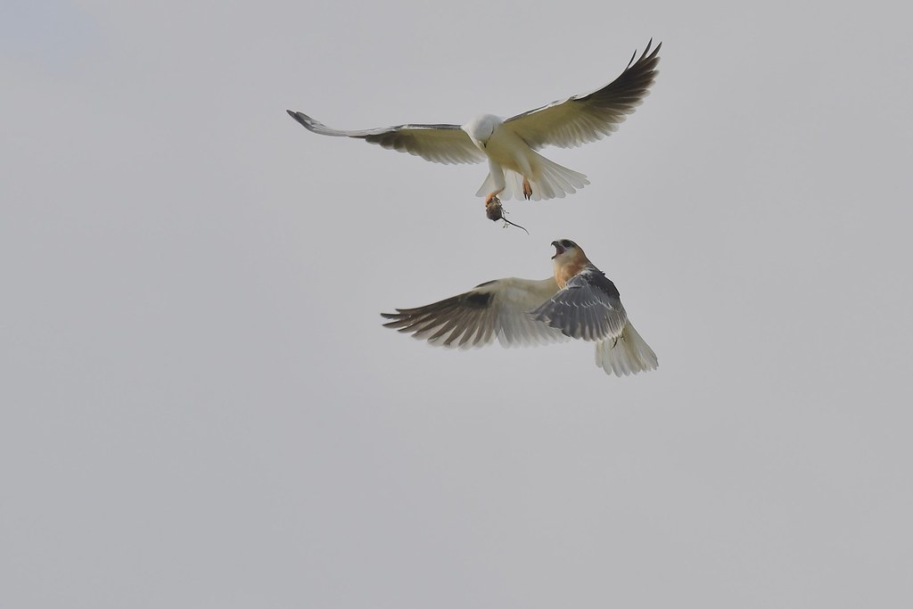 Black-shouldered Kites  ( Dad is still working hard )