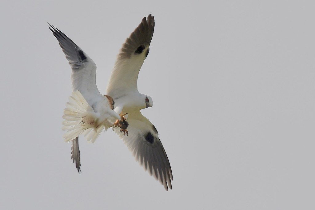 Black-shouldered Kites ( thanks Dad )