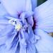 Hibiscus syriacus (I), 7.13.20