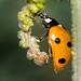 Marienkäfer (unbestimmt) (Coccinellidae indet.) (3)