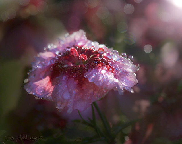 The morning dew ....