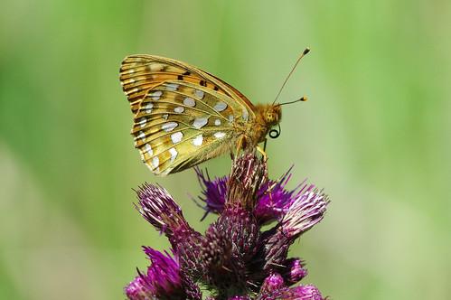 argynnisaglaja bedfordpurlieus cambridgeshire butterfly darkgreenfritillary insect meadow nature wild wildlife