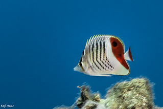 Eritrean butterflyfish - Chaetodon paucifasciatus