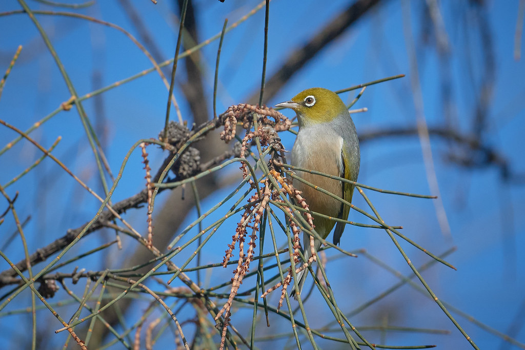 Silvereye: Turning a Circle