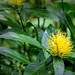 Yellow Bloom _1167