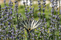 Flambé – Scarce Swallowtail – Iphiclides podalirius