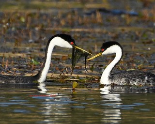 Western grebe weed ceremony