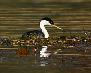 Western grebe nest with eggs