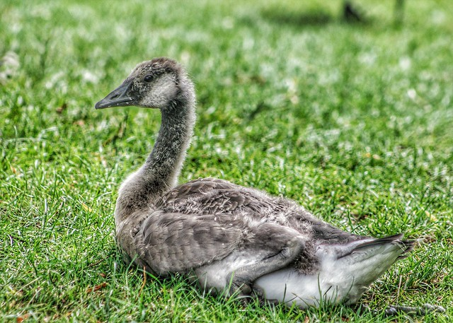 Young Canada Goose...