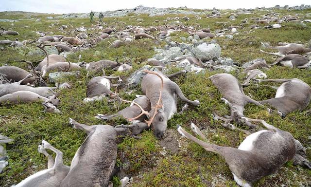 Renos muertos por un rayo en la meseta de Hardangervidda