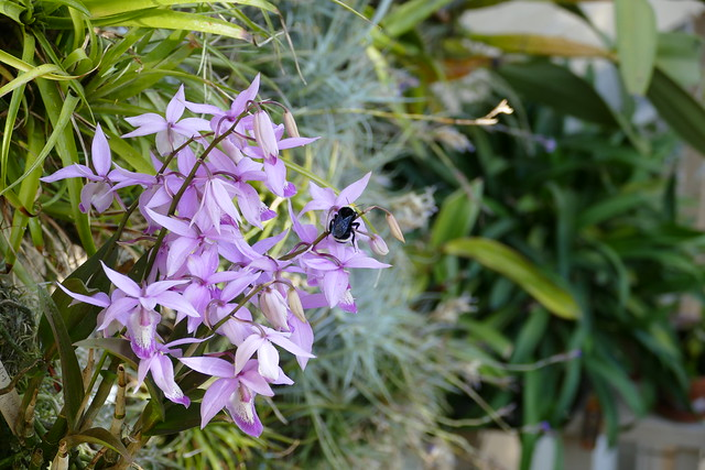 Barkeria spectabilis species orchid and bumble bee