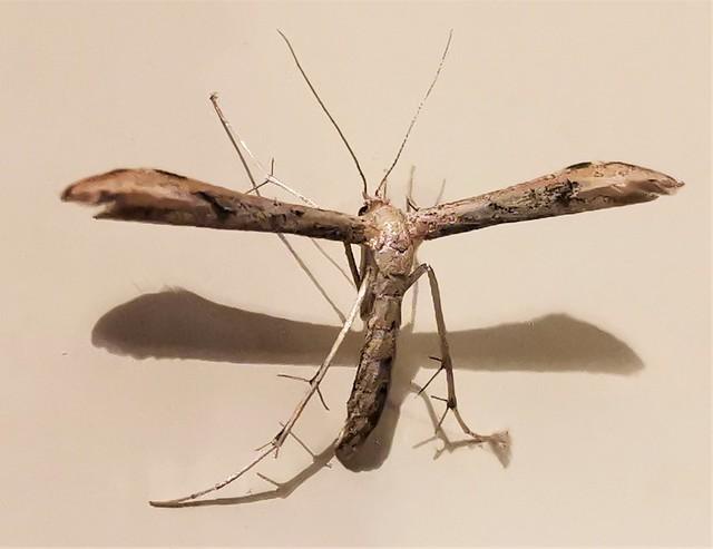 Plume Moth - Newbiggin-By-the-Sea
